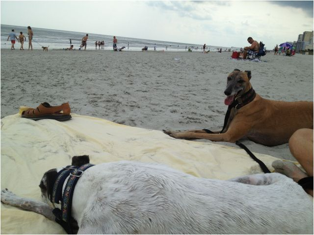 Dog Beach In Italy Luxury Beach Bound Hounds Greyhounds Whippets & Iggies